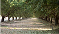 Almond_Orchard_2