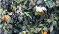 portokalia-pagetos