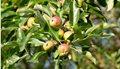 varieties-of-apple-trees-2130865-hero-418a9dd877d34162af42af577a730c3c