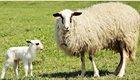 lamb-2295516_1920_3_