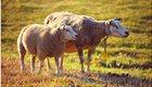 sheeps-3562868_17777
