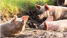 pigs-4028140_1920_1_