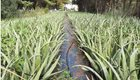 Πωλούνται φυτά αλόης1