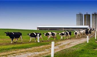 αγελαδες