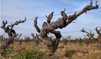 1200px-Old_vines_in_the_CorbieEres_AOC_wine_region