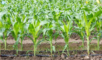 70011690-young-corn-field-with-drip-irrigation-system-in-farm