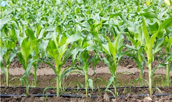 70011690-young-corn-field-with-drip-irrigation-system-in-farm_2