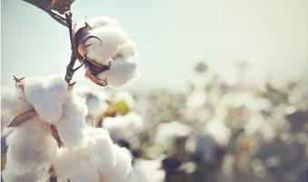 Cotton_crop_landscape_with_copy_space_area