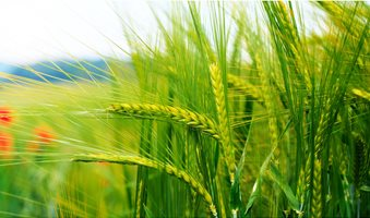 Green-Wheat-1920x1080-1__1_