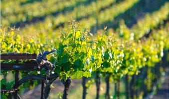 Ironstone-Vineyard-in-Murphys-1