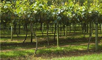 Kiwi_Fruit_Orchard_n