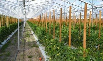 Lipman_greenhouse_tomatoes