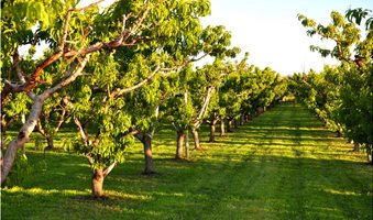 Pruned-organic-fruit-orchard