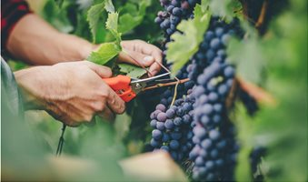 red-grapes-and-nonalcoholic