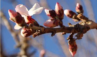 almond-blossom-13_2