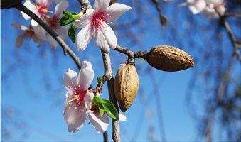 almond-tree-02