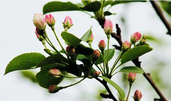 apple-tree-buds-in-spring_4jbwtmnpsl__F0000