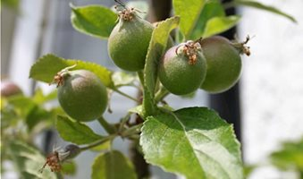 apple-tree-young-apples