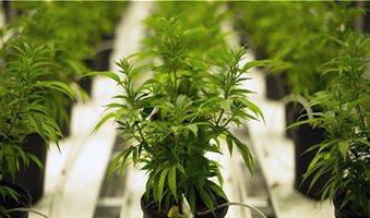 cannabis-testing-labs-consider-lims