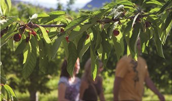 cherry-picking-west-kelowna