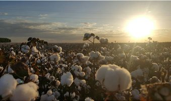 cotton_day
