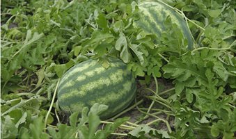 cr20180629_watermelons_wilson_ng