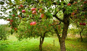 depositphotos_4362038-stock-photo-apple-trees-with-red-apples