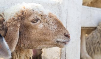 depositphotos_63905993-stock-photo-side-of-face-sheep-in