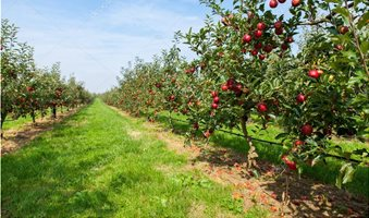 depositphotos_87726608-stock-photo-apple-trees-in-summer