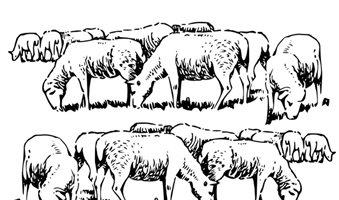 drawing-sheep-84