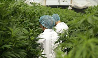 international-cannabis-corp-cve-icc-canopy-growth-corp-tse-cgc