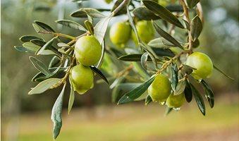 fresh-olives
