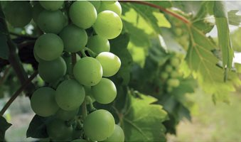 fruits-wine-grapes-title