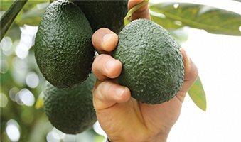 Πανδαιμόνιο για φυτά αβοκάντο και προϊόν