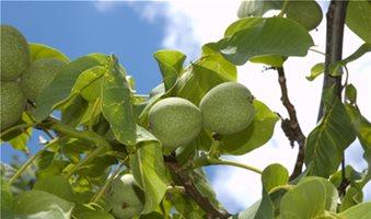 Αντιμετωπίστε έγκαιρα τις ασθένειες σε μηλοειδή και ακρόδρυα