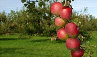Οδηγίες για τις μηλιές και αχλαδιές της Θεσσαλονίκης