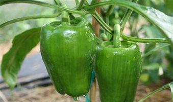 Σημάδια από ωίδιο στις πιπεριές της Θεσσαλίας