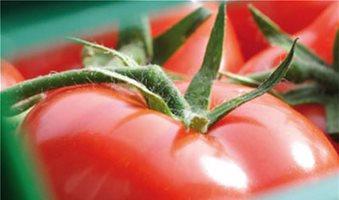 Σπορεία ντομάτας