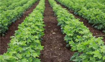 green-cotton-field-india_130568-82