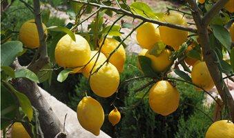 lemon-1117561_1280