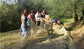 olive-picking-italy-1030x773_2
