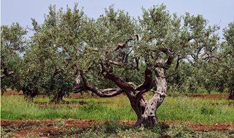 olive-tree-3432442_960_720