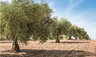 olive-trees_2