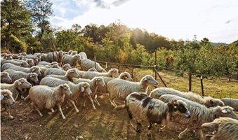 pecore-725x512_2
