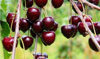 plantnet-rootstock-cherry-dwarf-sir-don
