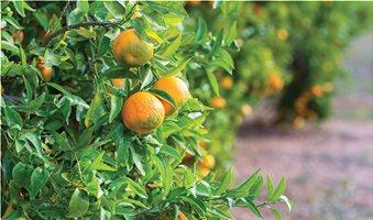 portokalia-kladi