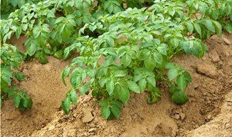 potato-plants-growing-hills