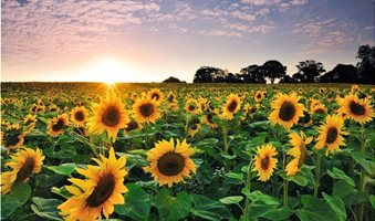 sunflower-at-sunset-royalty-free-image-1571951893
