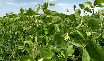 videoblocks-soya-on-the-fields-of-summer_b2qwgg9ig_thumbnail-full01