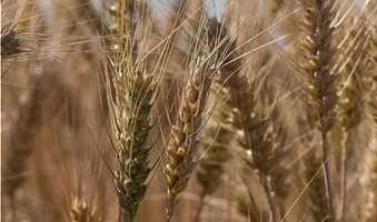 wheat-the-grain-ears-summer-the-production-of-grain-cereals